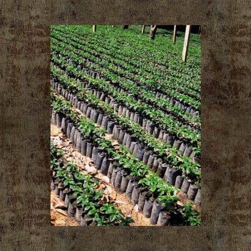 Guatemala Hue Hue Coffee