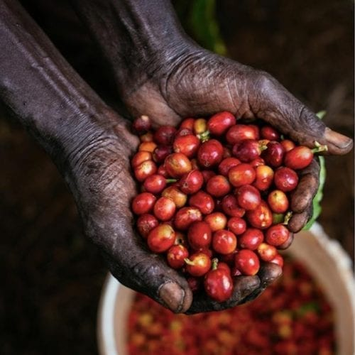 Kenya Mwiria coffee cherries